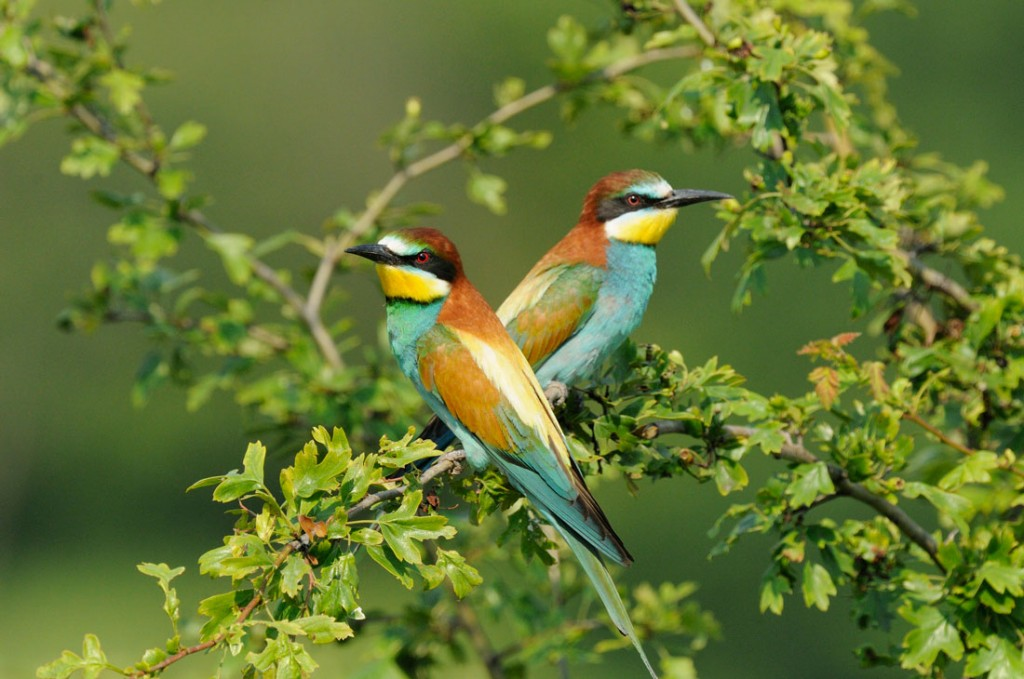 Couple de Guêpiers d'Europe - European Bee-eater couple