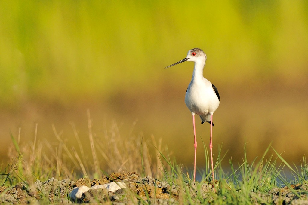 Échasse blanche - Black-winged Stilt