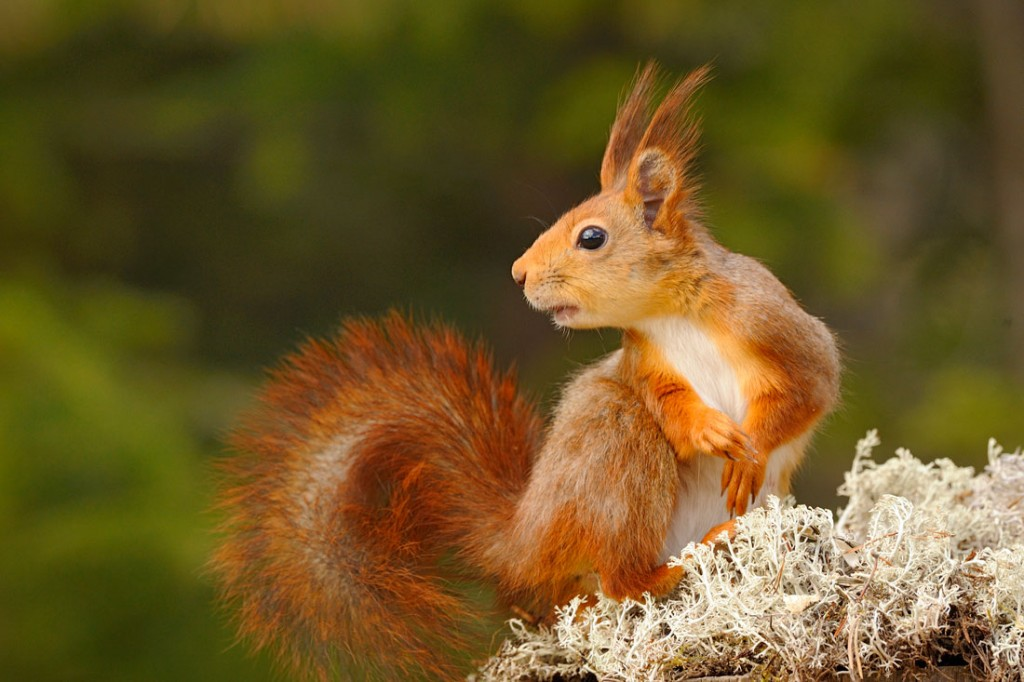 Écureuil roux - Red squirrel