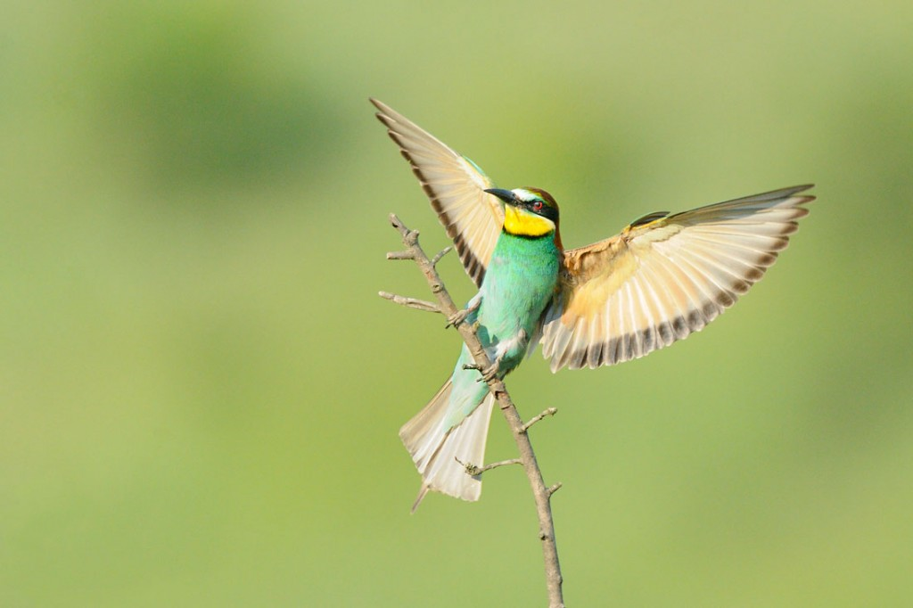 Guêpier d'Europe - European Bee-eater