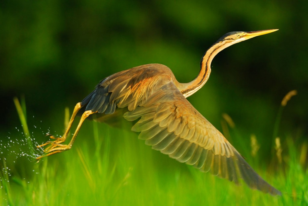 Héron pourpré - Purple Heron (2)