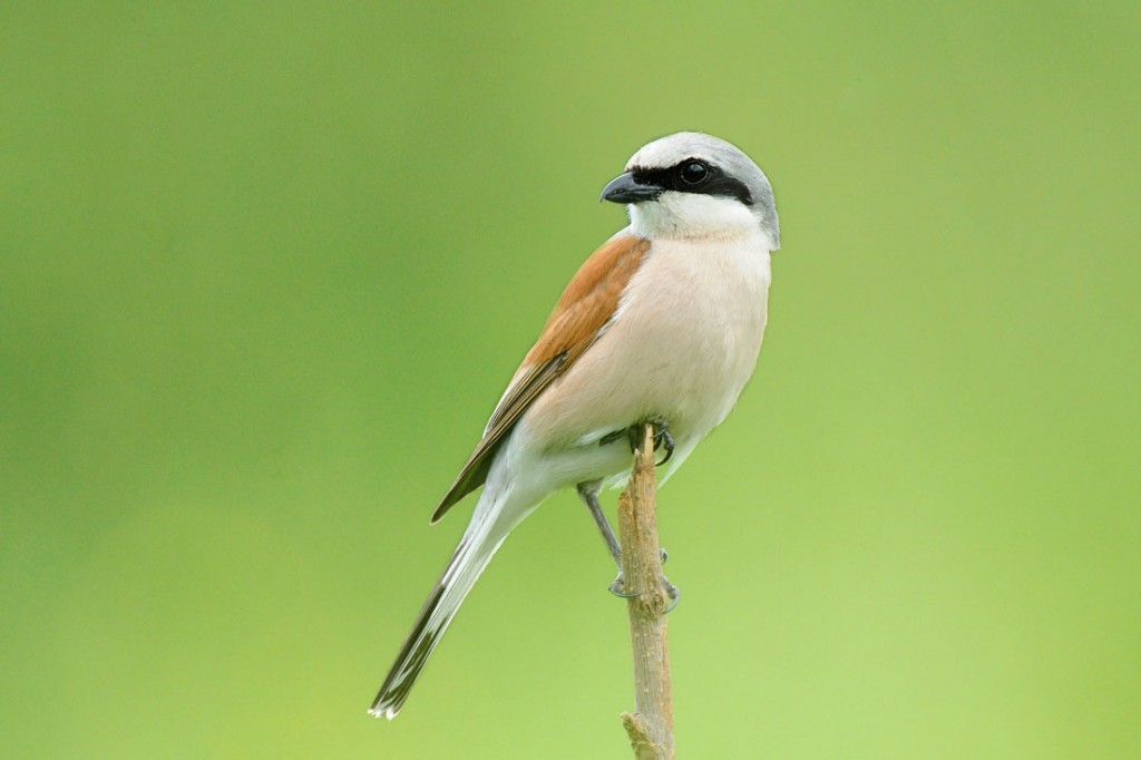 Pie grièche écorcheur - Red-backed Shrike (1)