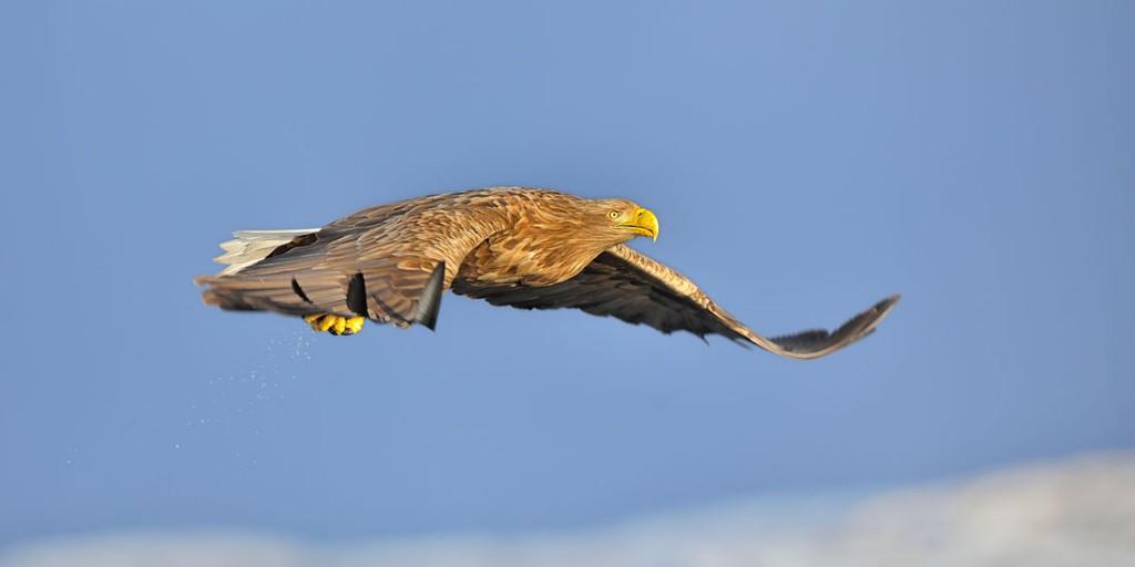 Pygargue à queue blanche - White-tailed Eagle (1)