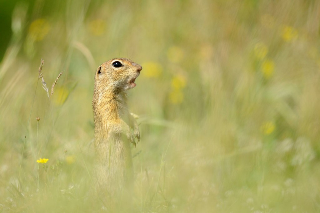 Souslik d'Europe - European Ground Squirrel