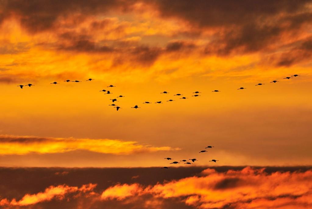 Vol de Grues cendrées - Common Crane in flight (1)